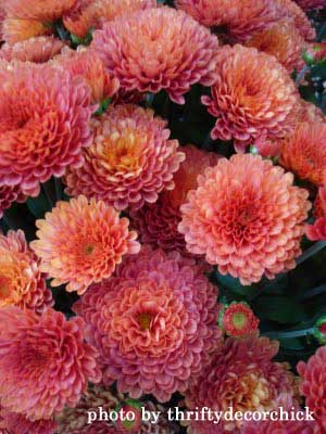 colorful autumn mums