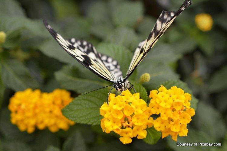 Butterfly on beautiful lantana plant