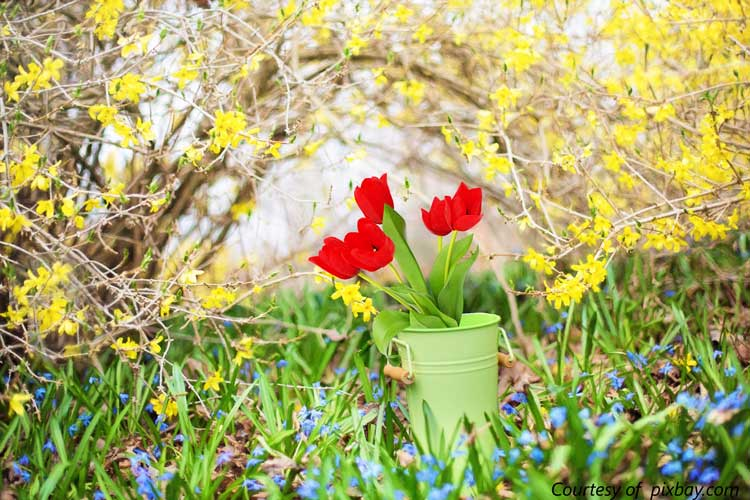 spring flowers - forsythia and a green bucket with red tulips