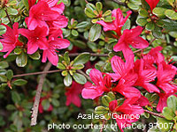 beautiful azalea plant