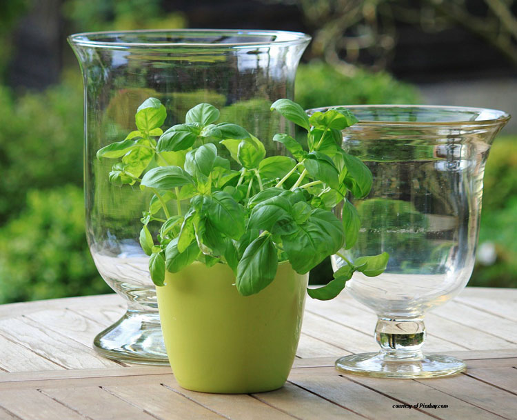 basil in small pot on table