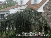 weeping blue atlas cedar tree in front yard