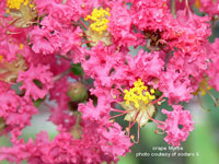 picture of flowering crape myrtle plant
