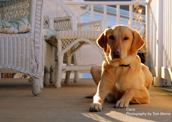 Our grand dog Cisco golden lab, photographer Tom Morris
