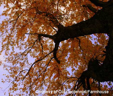 Glorius maple tree