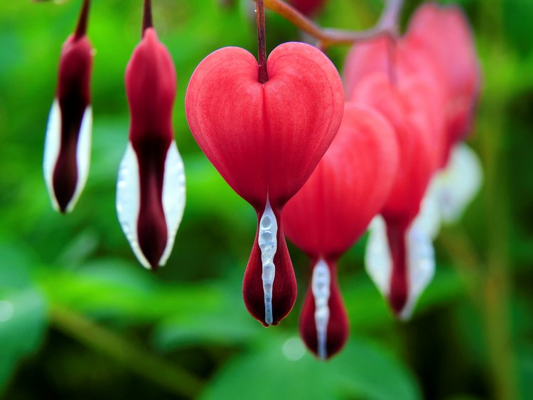 beautiful bleeding hearts
