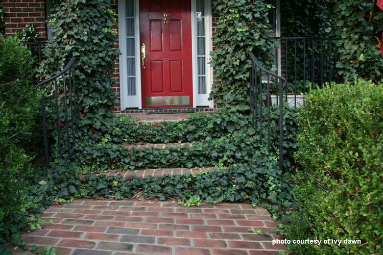 Front porch step risers covered with ivy