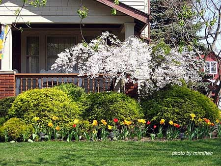 Springtime landscaping of front yard with flowering trees, tulips, pansies