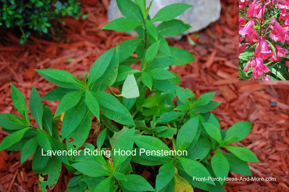 penstemon plant