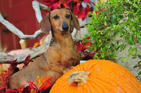 daschund on the front porch with pumpkins