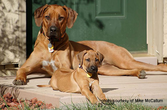 two beautiful ridgebacks on porch