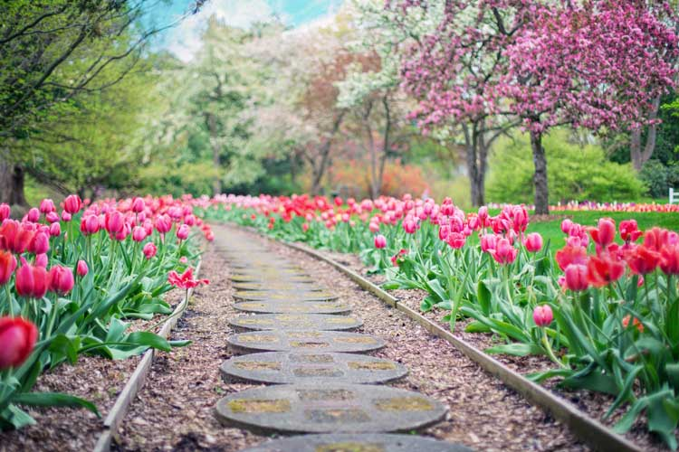 spring walkway lined with tulips