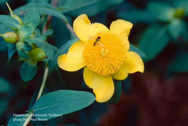 picture of a st johns wort flower