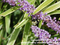 Variegated Lirope with purple flowers and bee