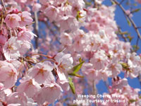 lovely weeping cherry tree
