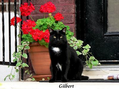 black porch cat and red geraniums