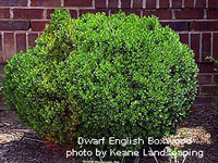 dwarf english boxwood photo