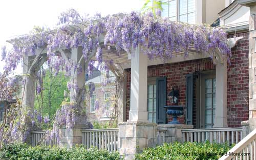 wisteria growing on roof of front porch