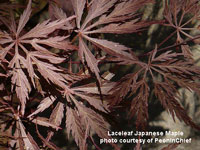 laceleaf japanese maple in garden setting