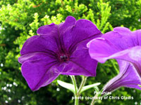 Stiking blue petunias