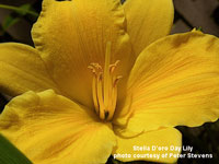 yellow Stella D'oro Day Lilly