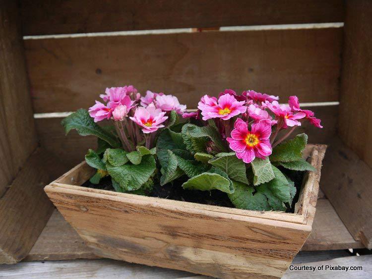 primroses in wooden planter