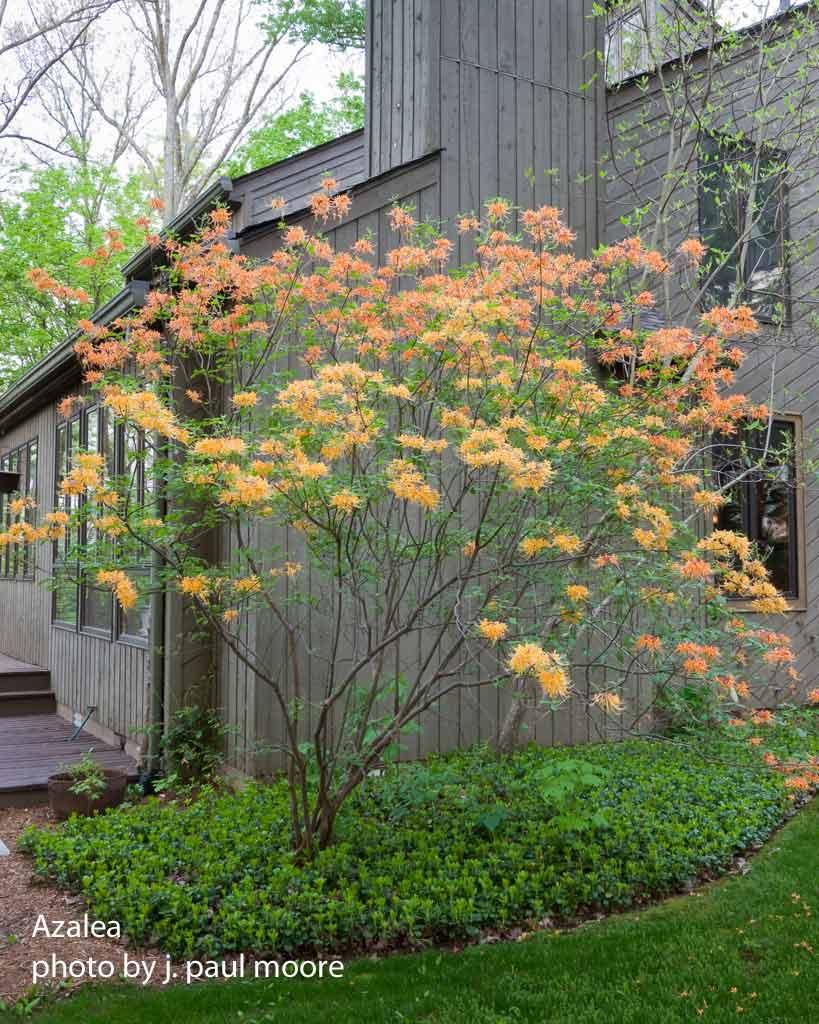 picture of an azalea by  J. Paul Moore, Landscape Photographer