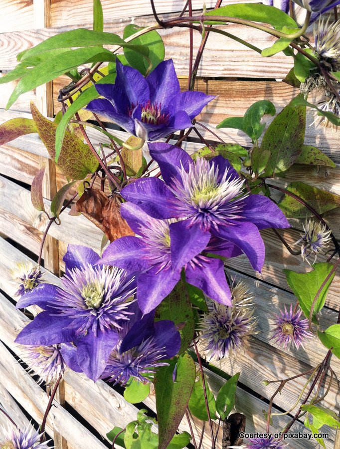 A clematis will greatly benefit from a trellis.