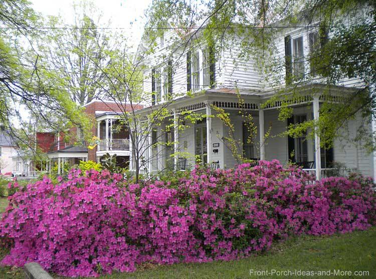 azaleas in spring in North Carolina