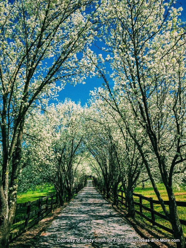 Beautiful Bradford Pear trees line this charming lane