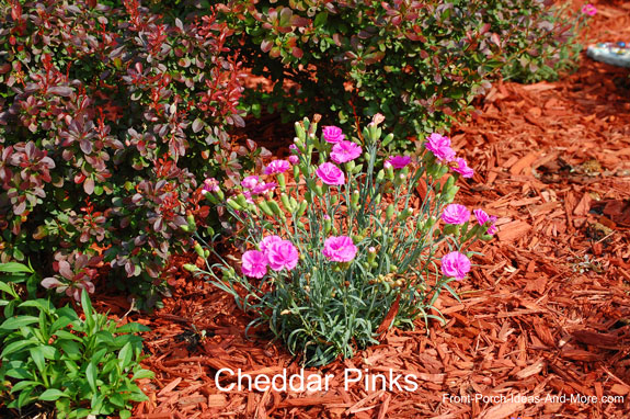 cheddar pinks in our landscaping