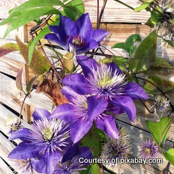 purple clematis on a trellis