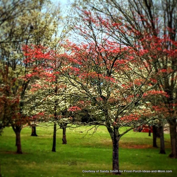 Lovely dogwoods in spring in TN