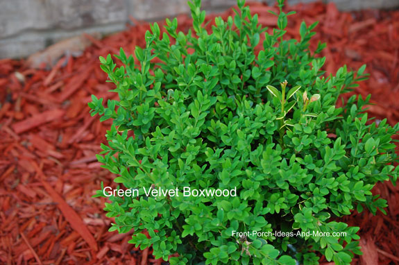 green velvet boxwood plant
