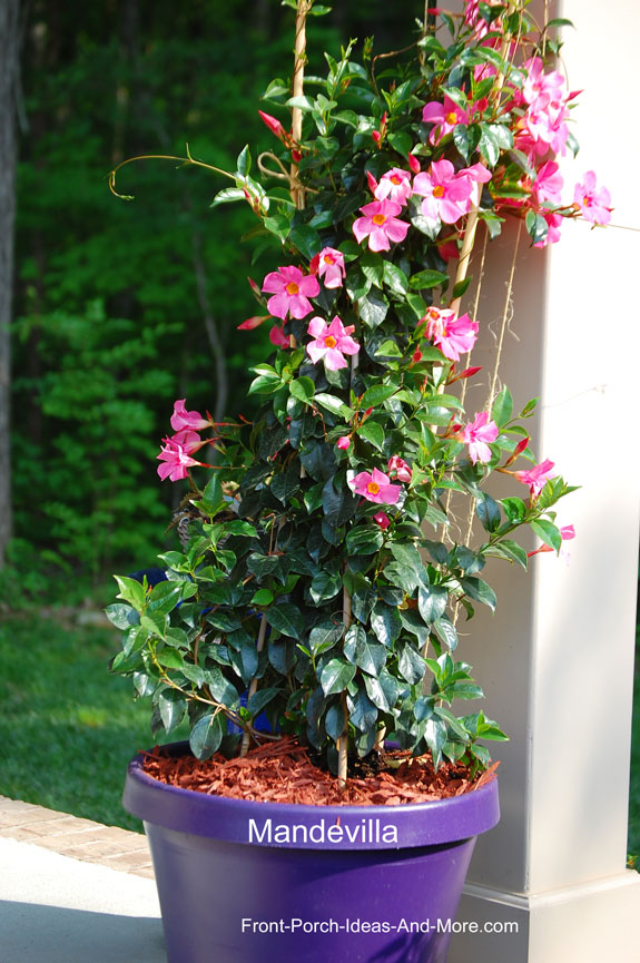 mandevilla in purple pot on front porch