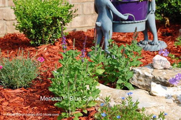Merleau™ Blue Salvia plant