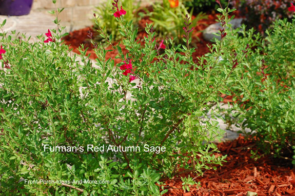 furman's red autumn sage plant