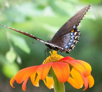 swallowtail butterfly on plant