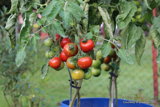 tomatoes staked up