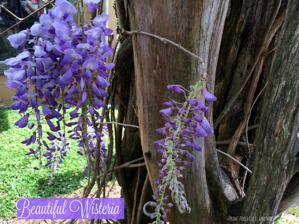 Spring in TN - beautiful close-up of wisteria