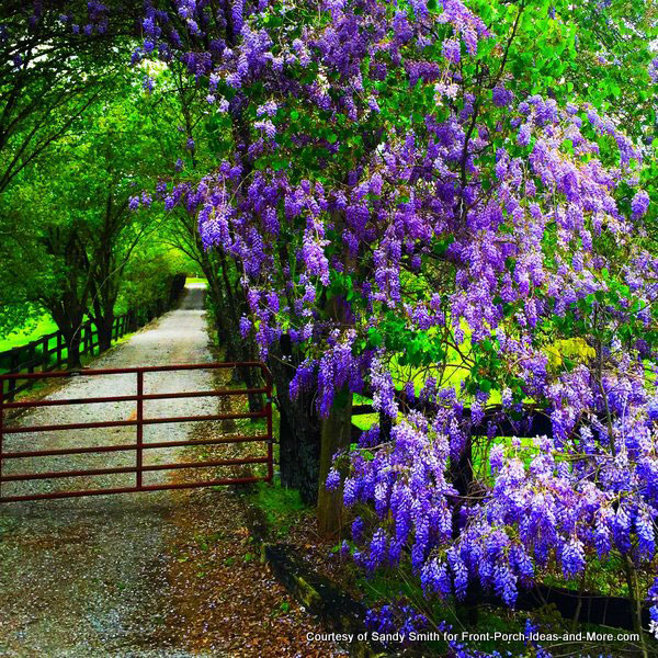 Spring in TN - beautiful wisteria