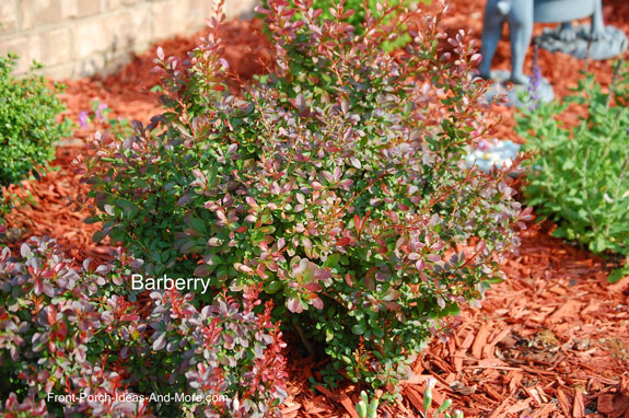 barberry plant
