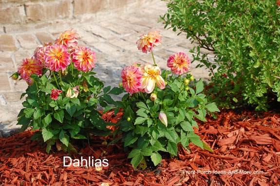 dahlias added to our landscaping