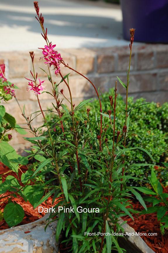 dark goura plant