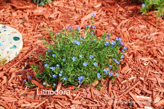blue lithordora flowers